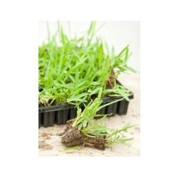 Bandeja de grama en estolones